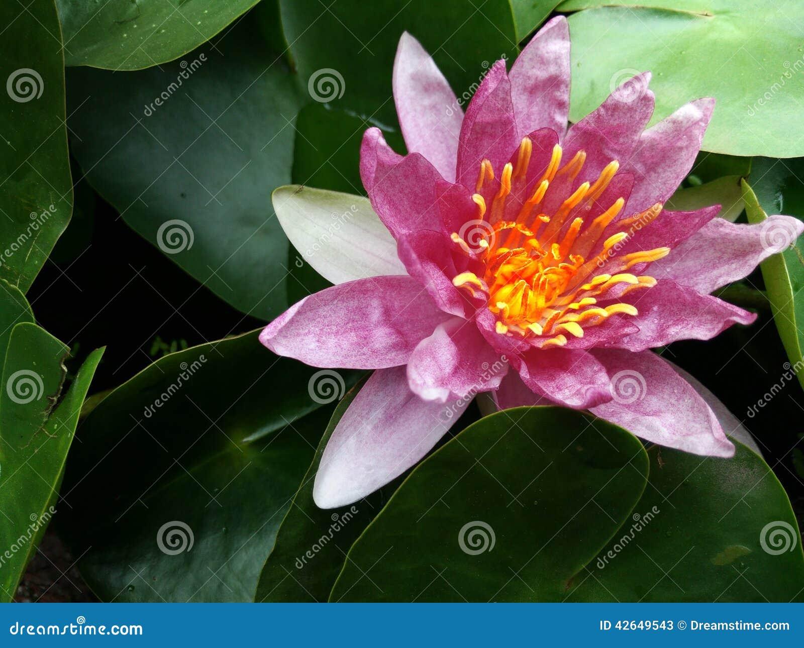Lotus vermelho