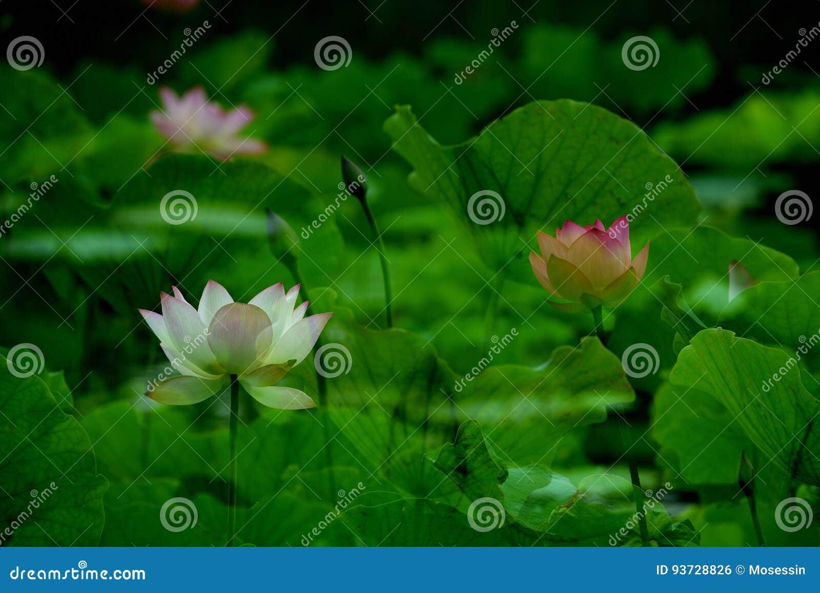 Lotus in vijver