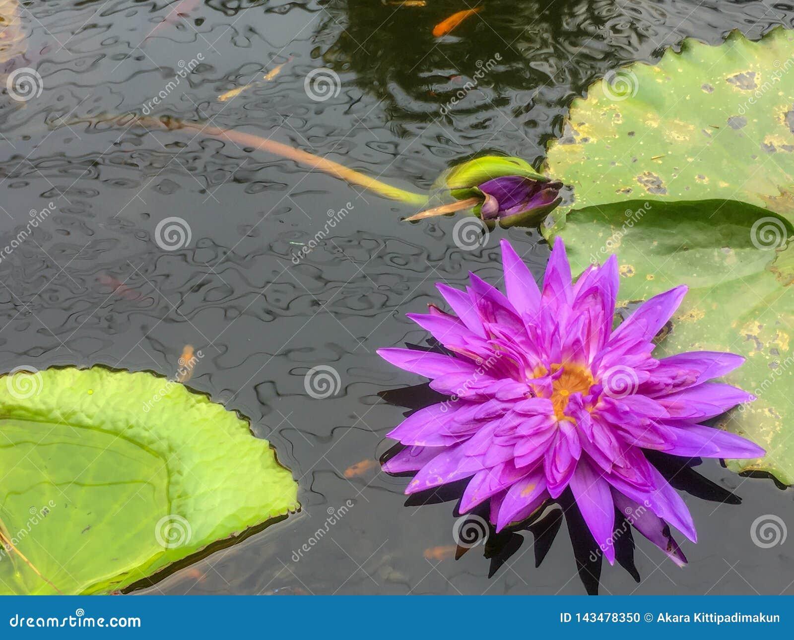 Lotus violet dans l étang avec la feuille de lotus et les petits poissons mignons