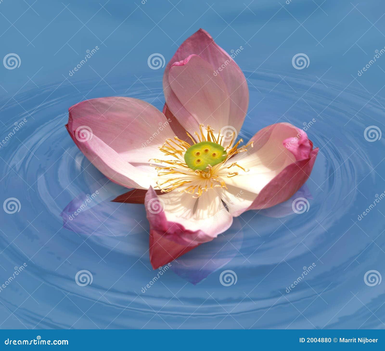 lotus in water stock photo  image, Beautiful flower