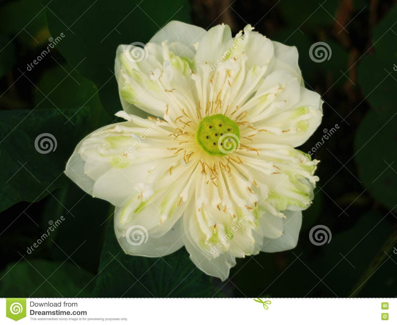 Lotus Or Water Lily The Beautiful Water Flowers Stock Image Image