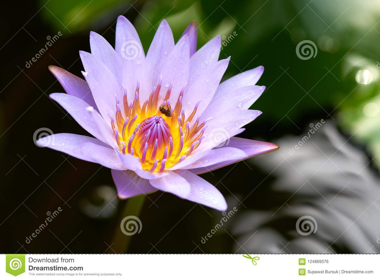 The Lotus Water Lily Blossom In The Morning Every Day Was Pla Stock