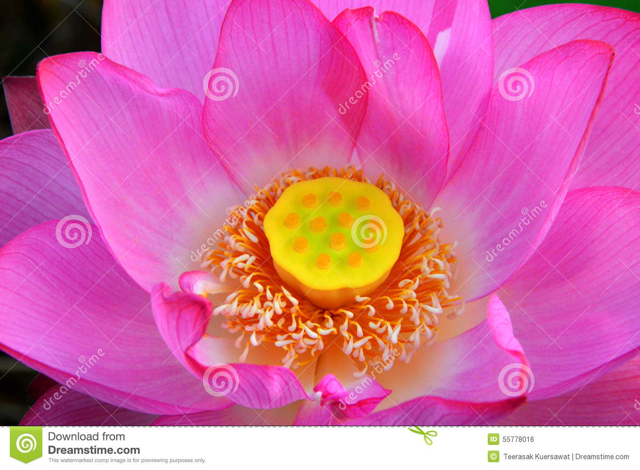 Lotuswater Lily Stock Illustration Illustration Of Waterlily