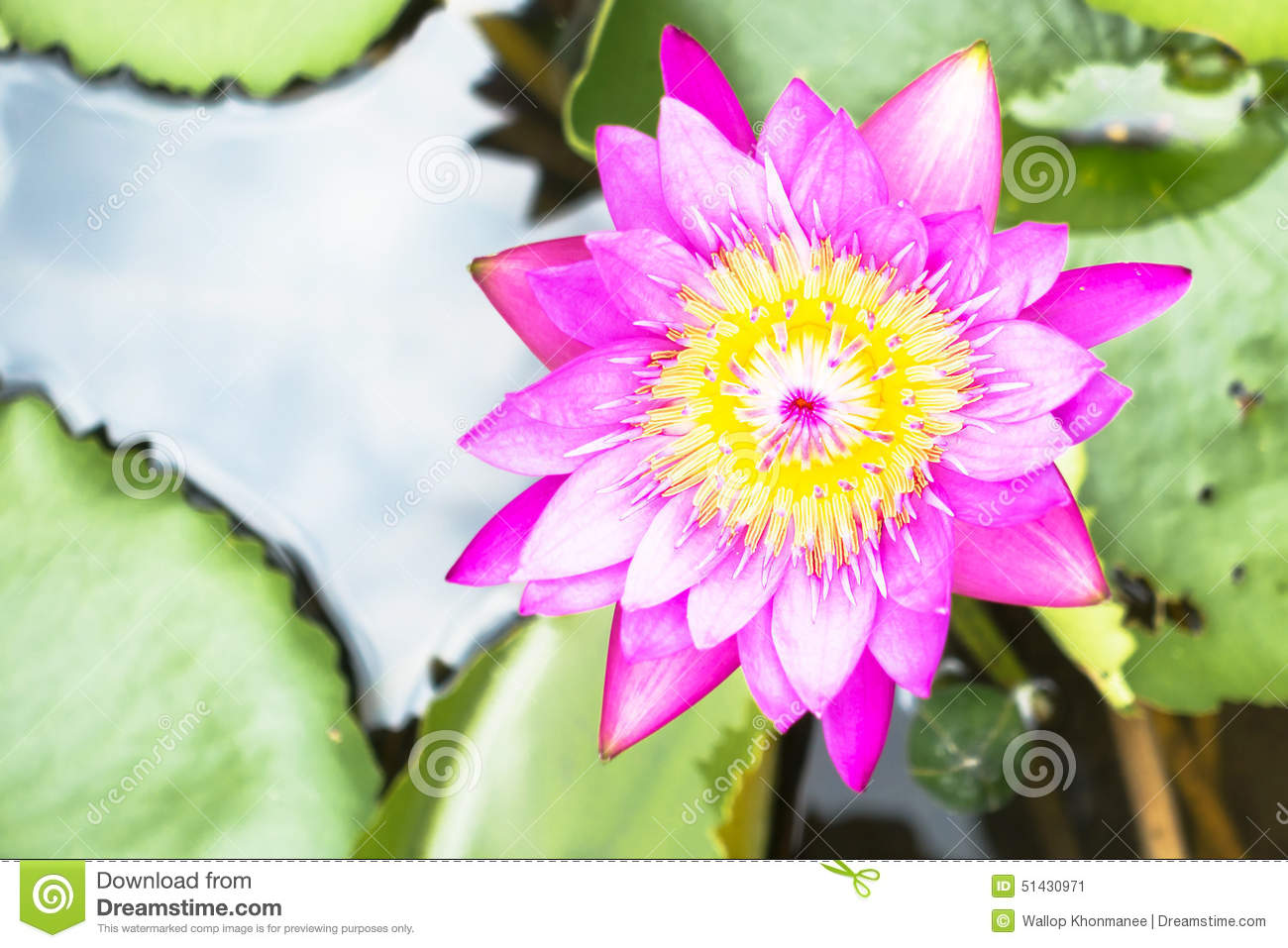 Lotus is water lily in the garden stock image image of nature download lotus is water lily in the garden stock image image of nature herb mightylinksfo