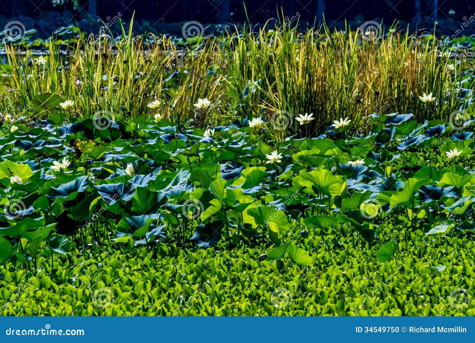 Lotus Water Lily Pad Flowers amarela de florescência bonita e outras estações de tratamento de água