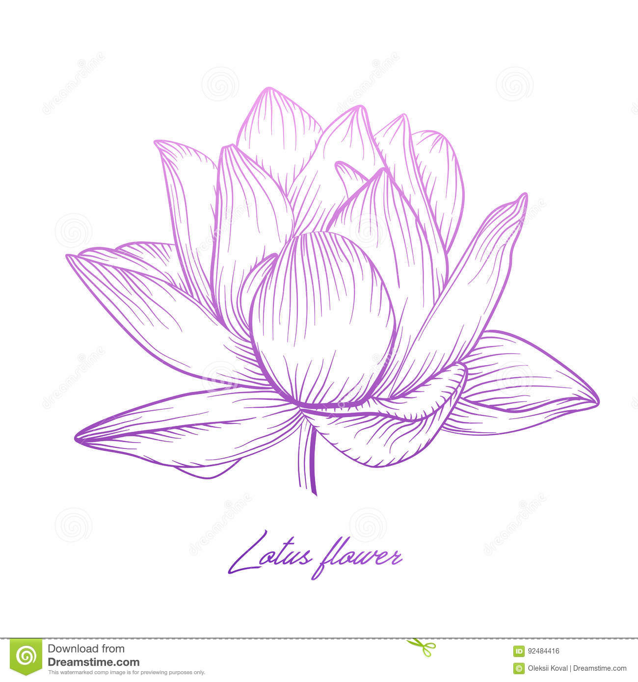 Lotus Water Lily Vector Beautiful Flower Colorful Pink Purple Stock