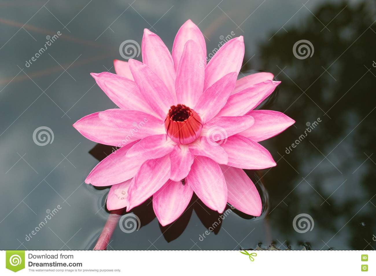 Lotus or water lily flower the national flower of vietnam cartoon lotus or water lily flower the national flower of vietnam cartoon vector cartoondealer 71734649 izmirmasajfo
