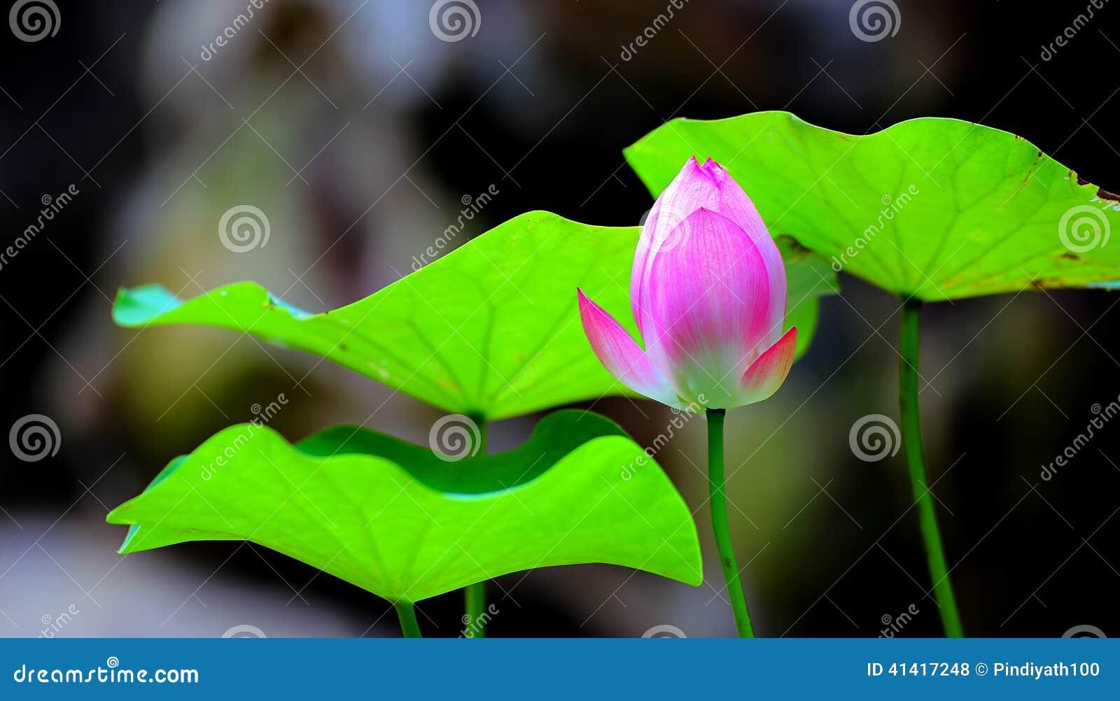 Lotus zieleni i pączka liście