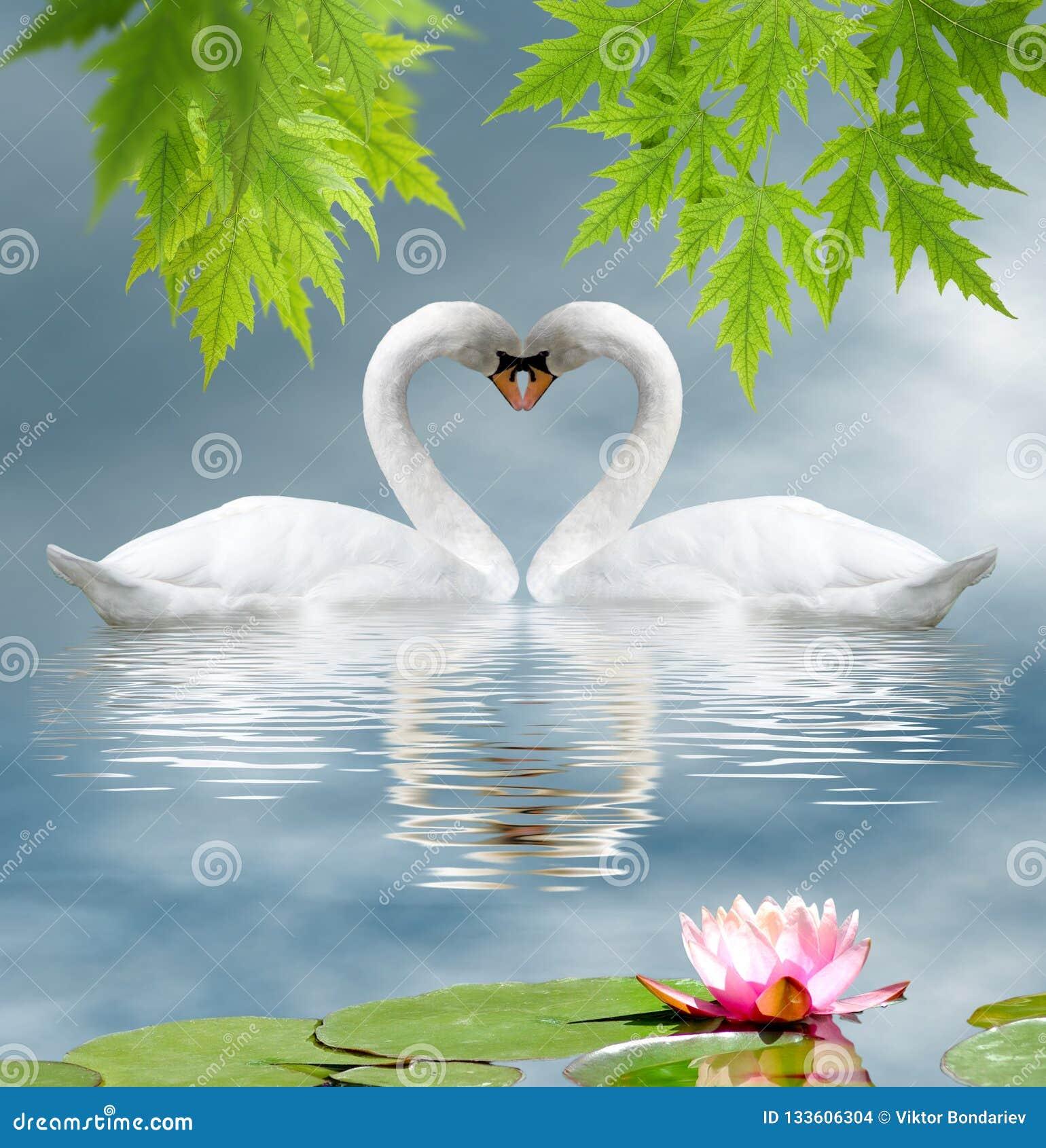 Lotusbloembloem en twee zwanen als symbool van liefdeclose-up
