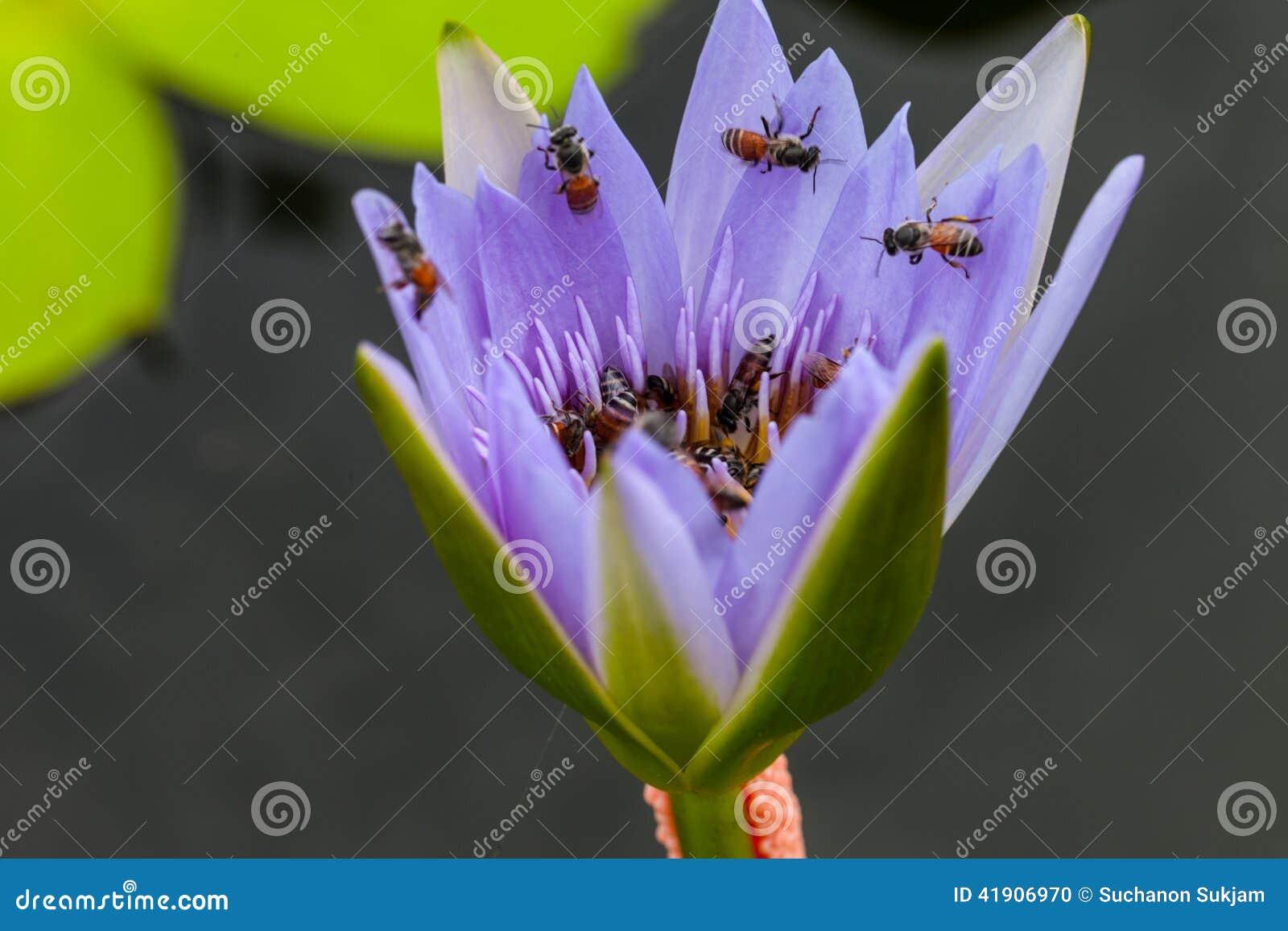 Lotusblommablomma och bi