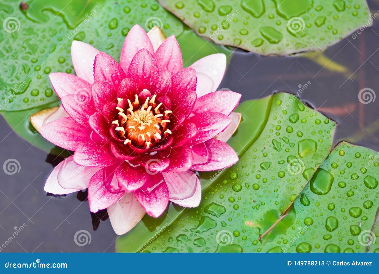 Lotusblommar blommar i damm