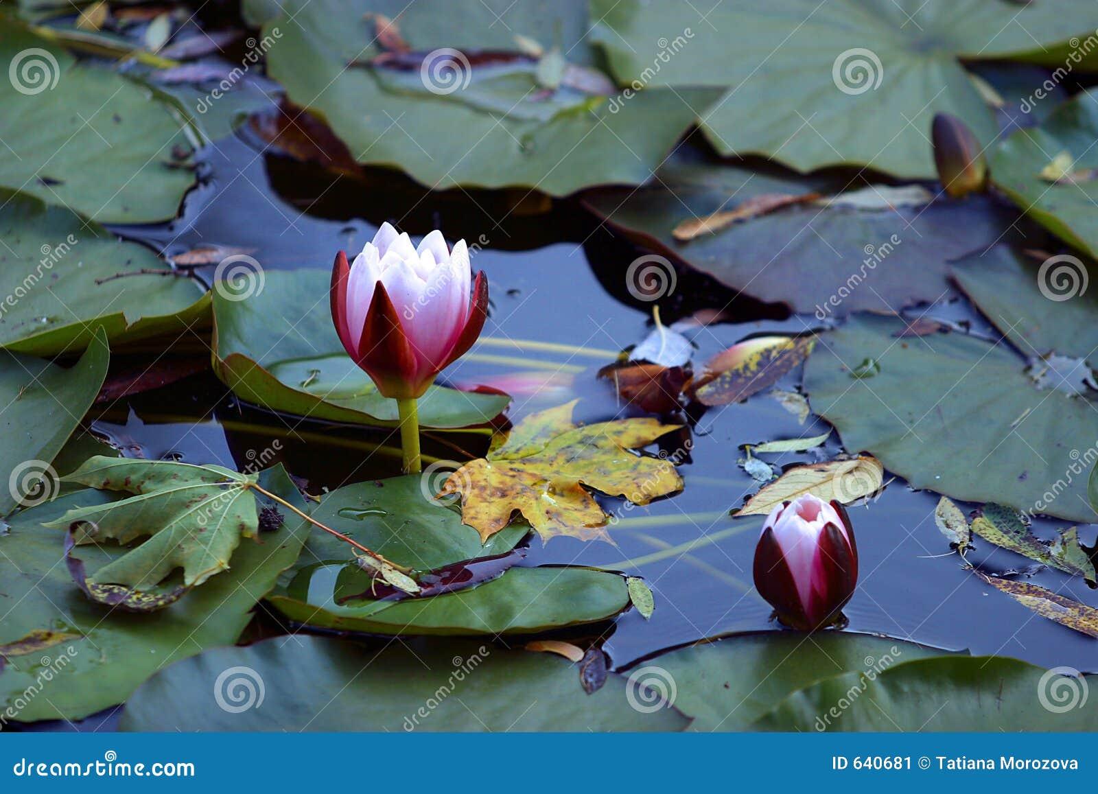 Download Lotuses стоковое изображение. изображение насчитывающей листья - 640681