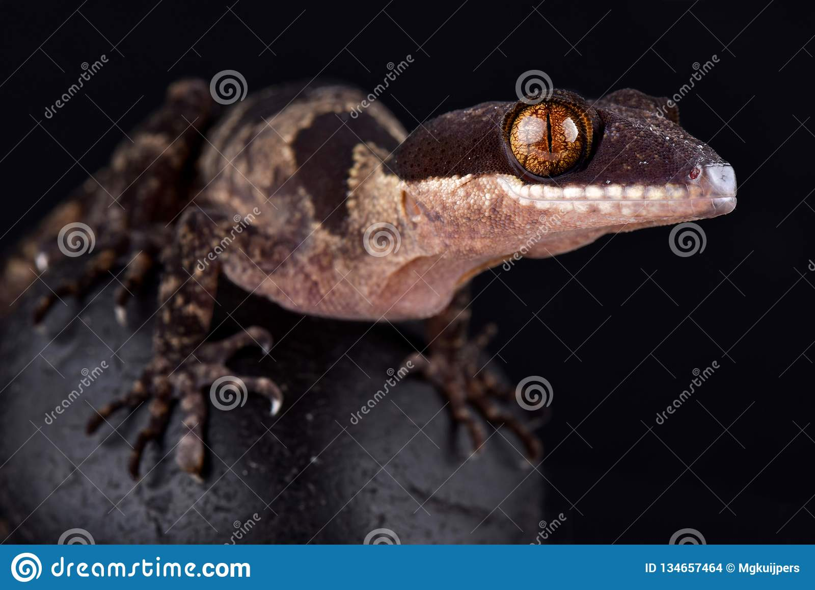 Louisiadensis gigante de Cyrtodactylus do geco unido de Papua