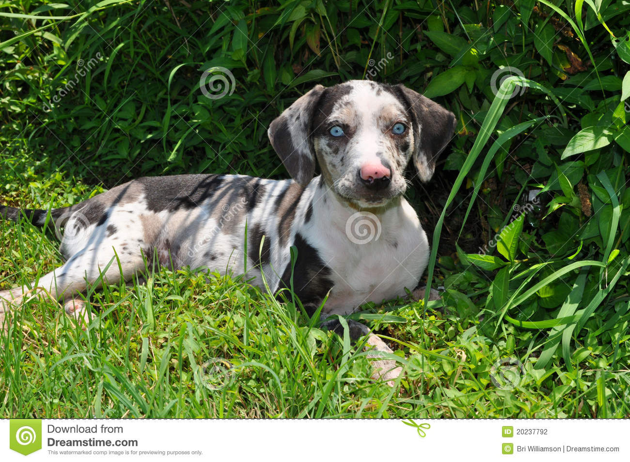 louisiana catahoula leopard dog  puppy  stock photography