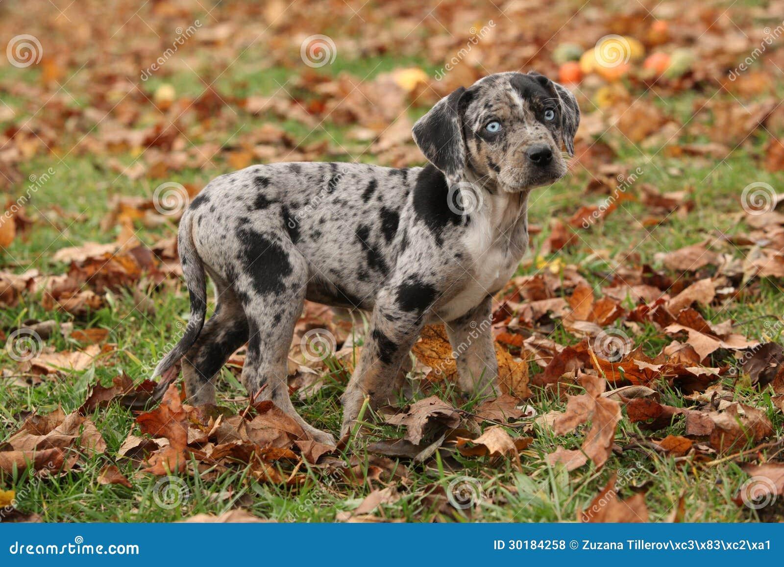 Louisiana Catahoula Puppy In Autumn Stock Photo - Image of