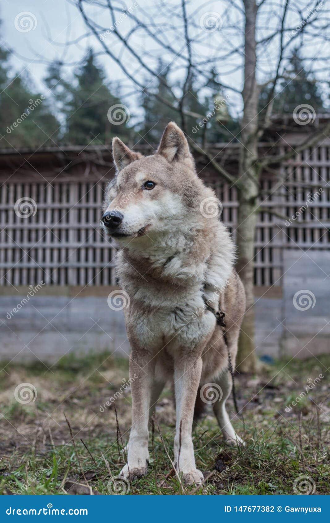 Loup, animal sauvage, loup gris, bête