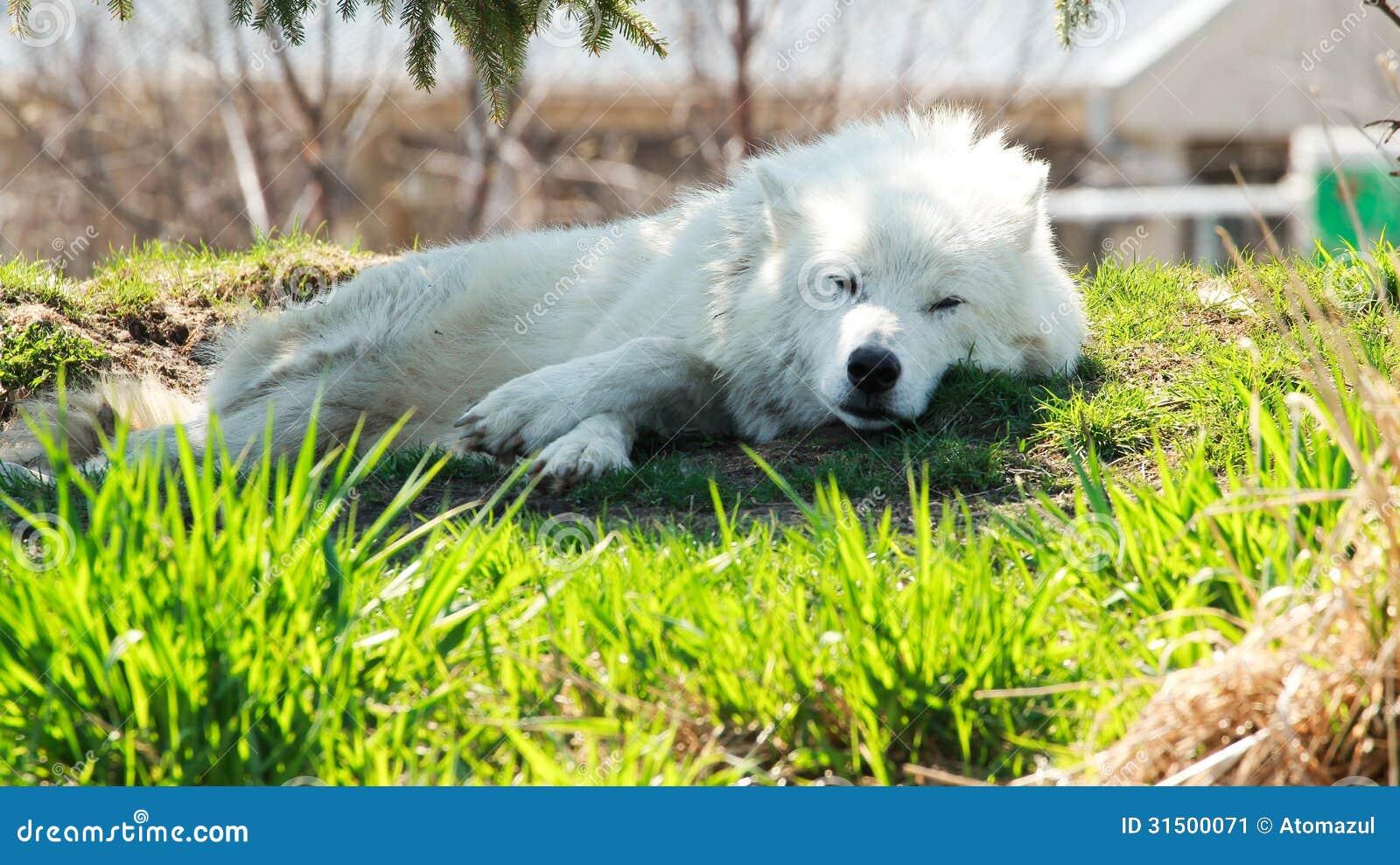 Loup arctique A