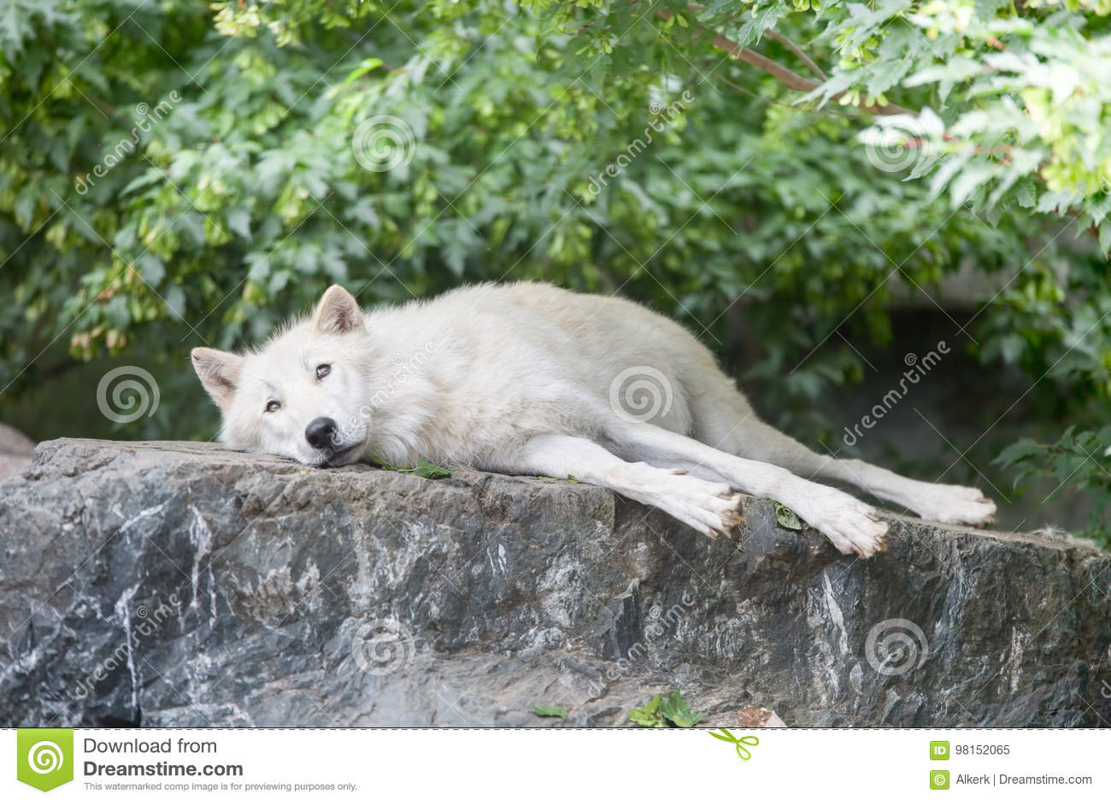 Loup arctique détendant sur la falaise rocheuse