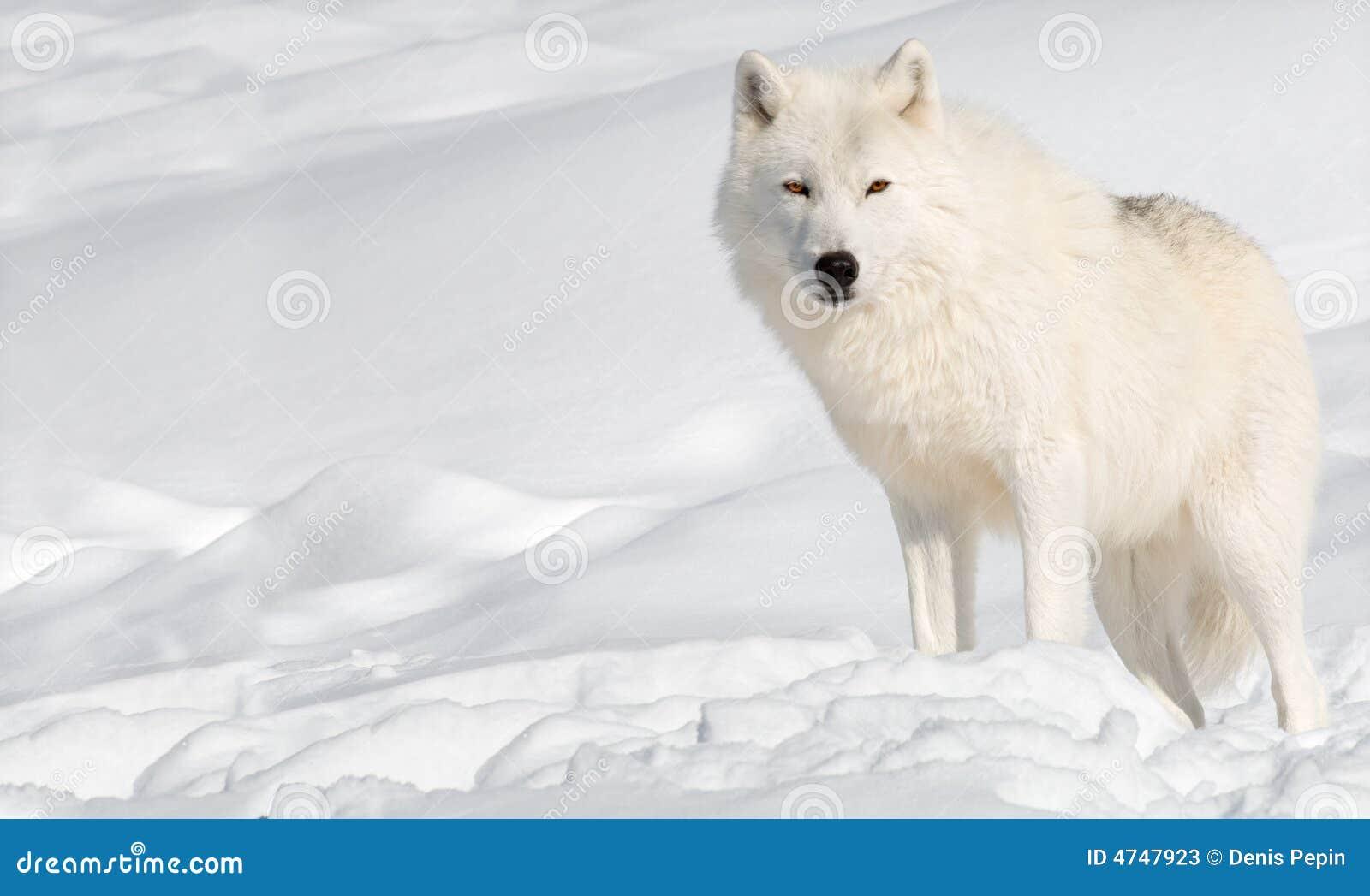 Loup arctique dans la neige regardant l appareil-photo