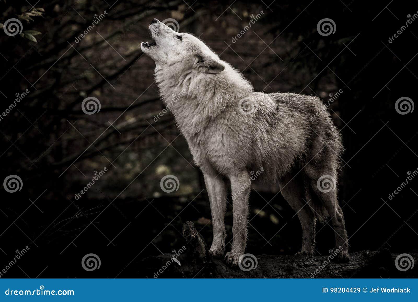 Loup blanc d hurlement dans l obscurité