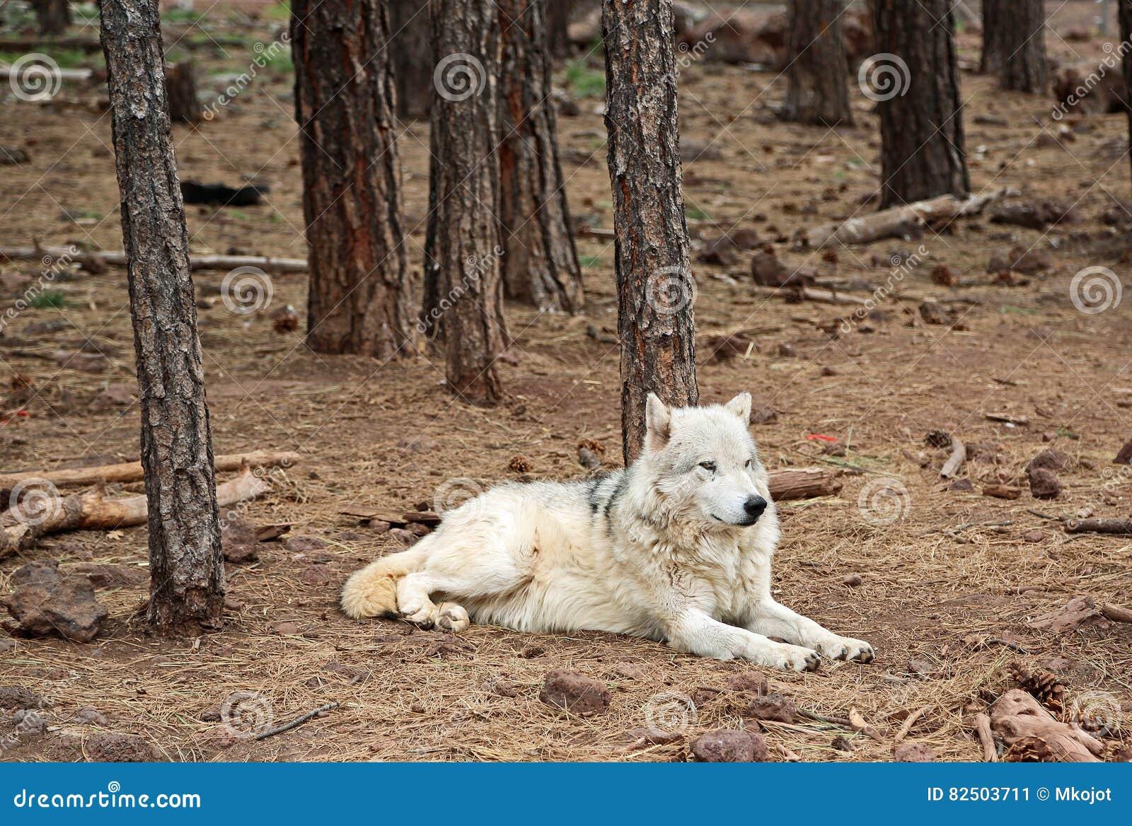 Loup d Alaska de toundra dans la forêt