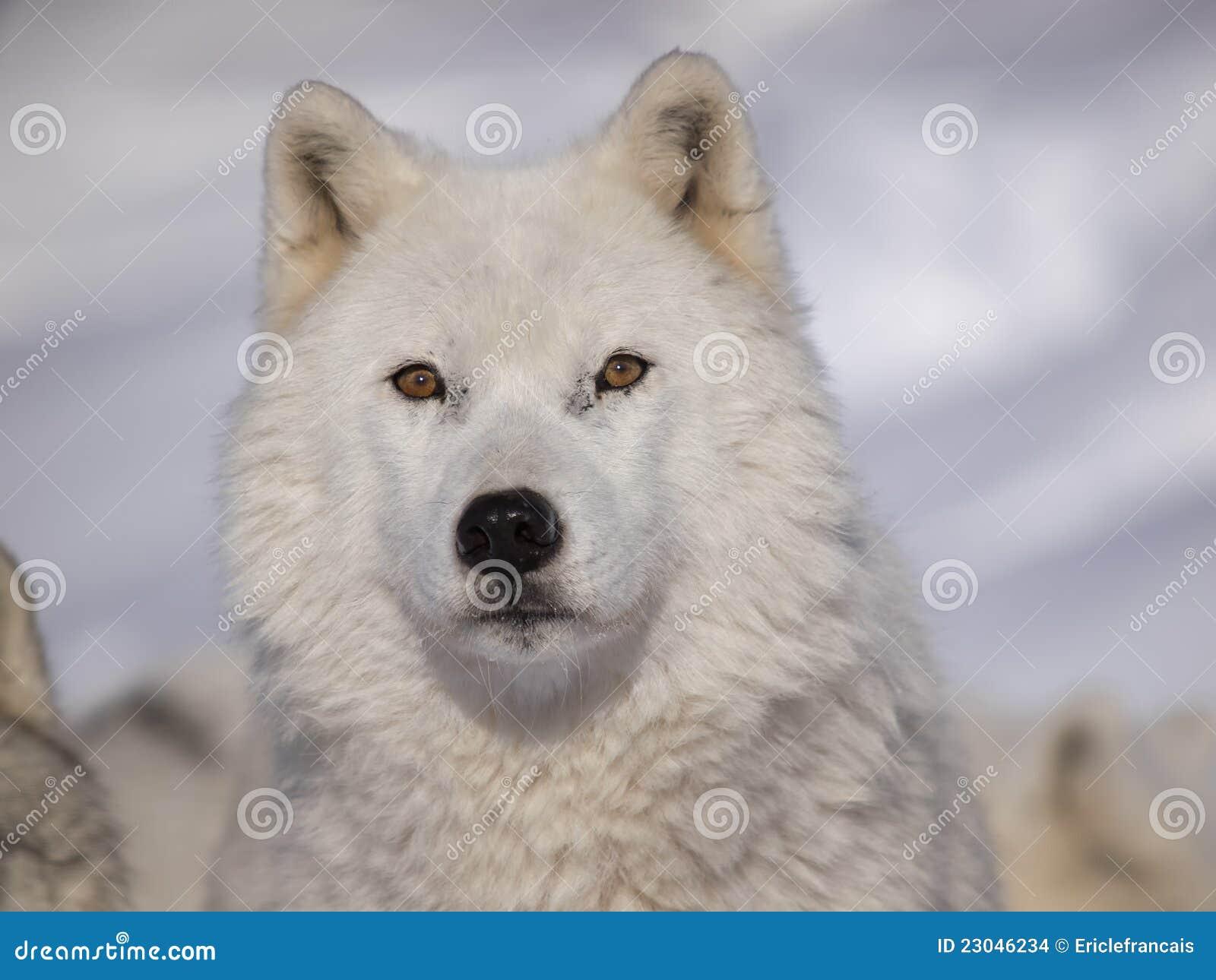Loup d Arctique d alpha mâle
