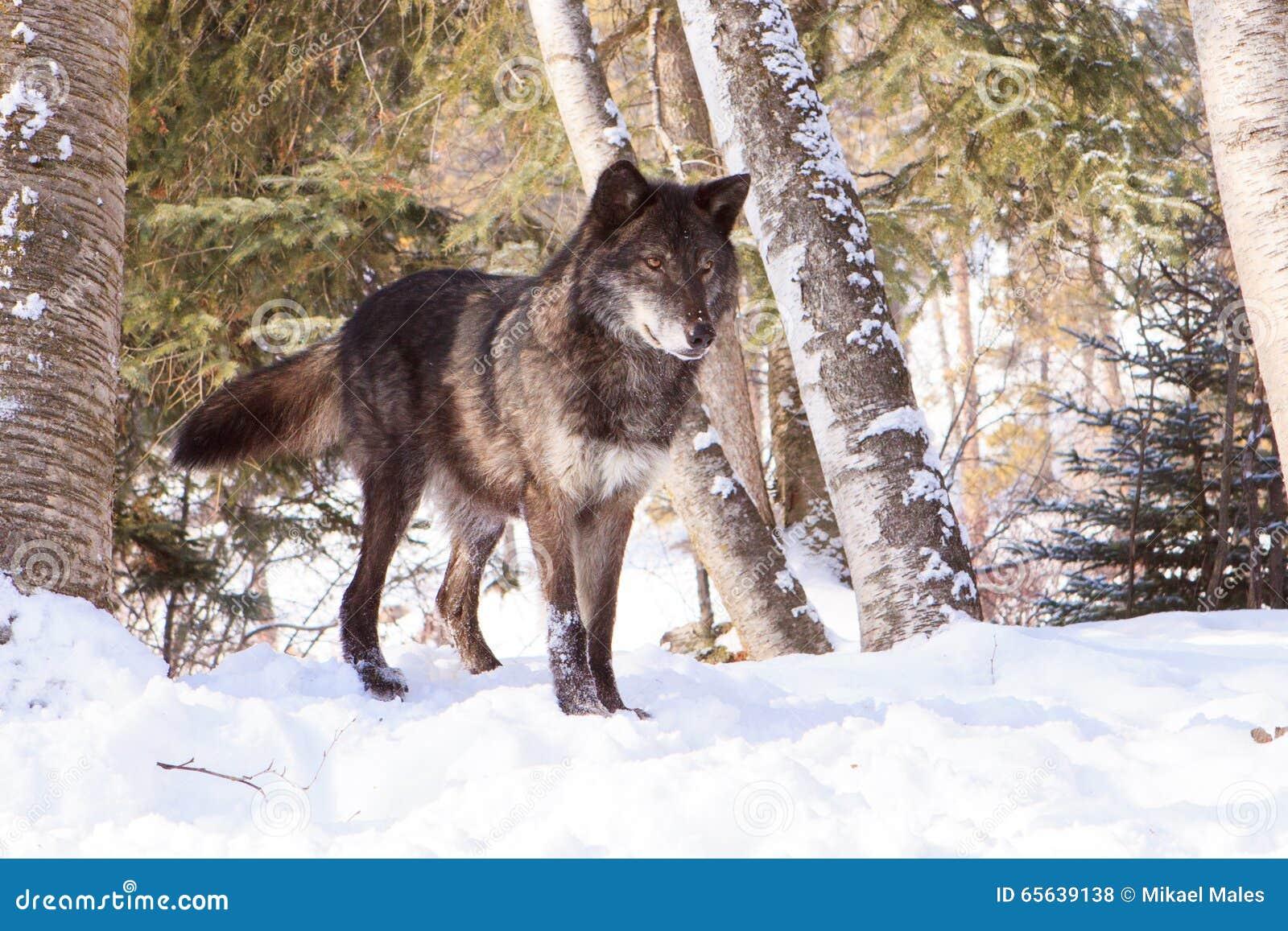 Loup de bois de construction noir à l alerte dans la neige