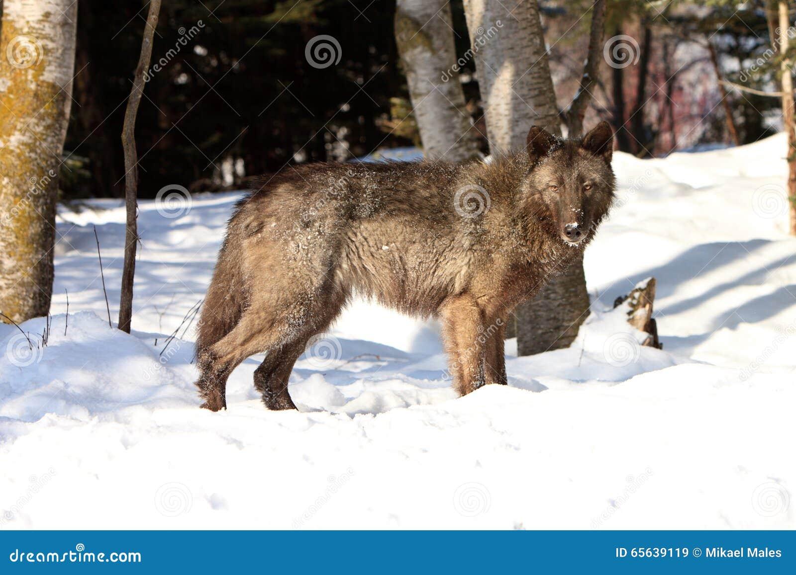 Loup de bois de construction noir femelle