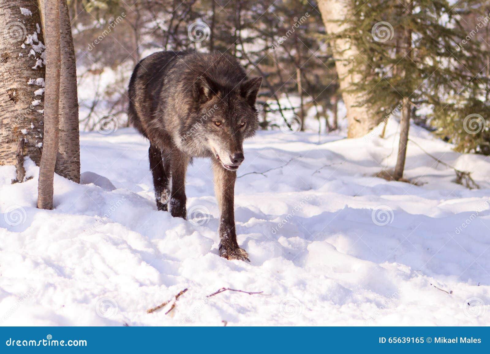 Loup de bois de construction noir sortant des arbres