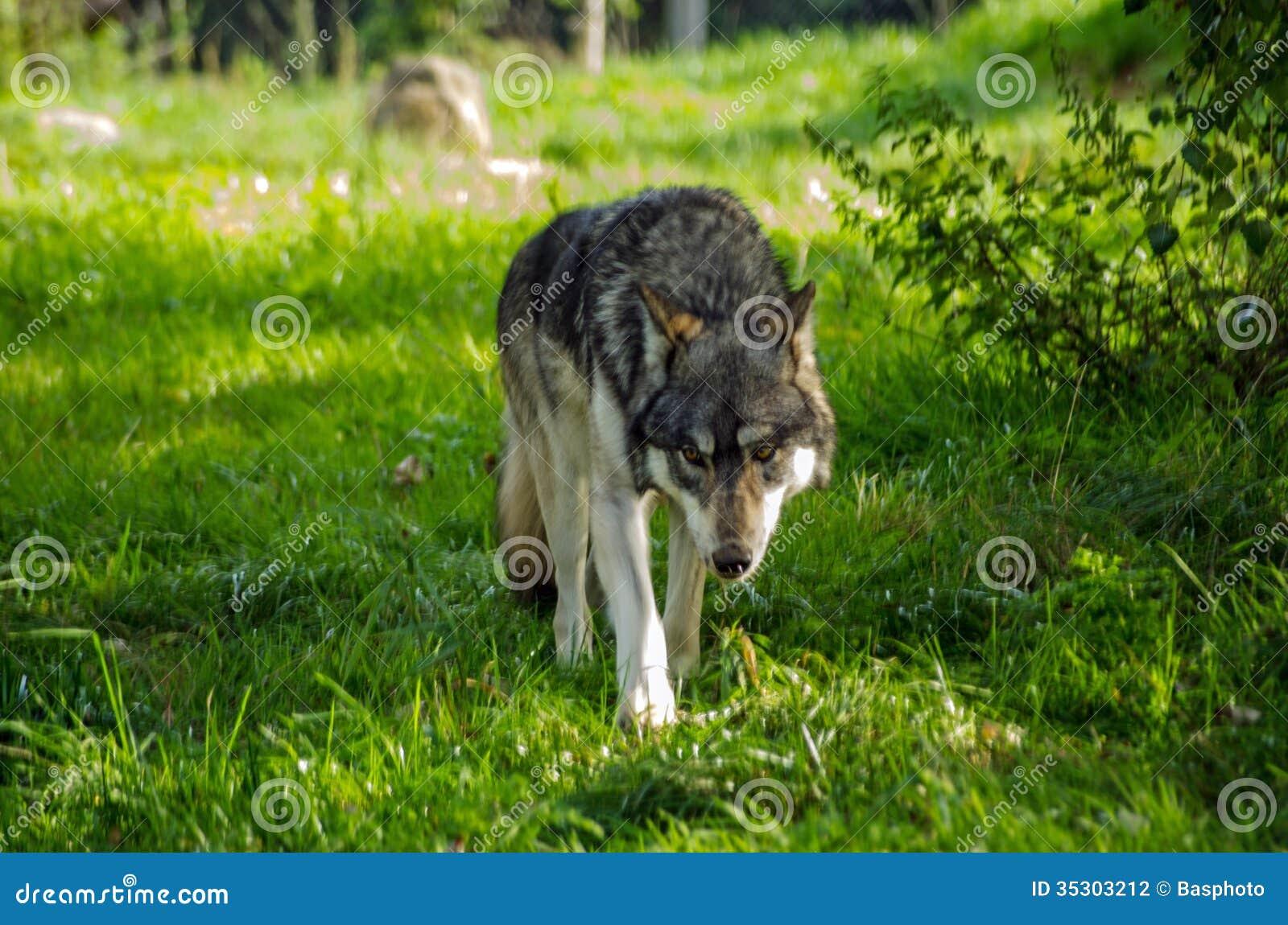Loup européen rôdant