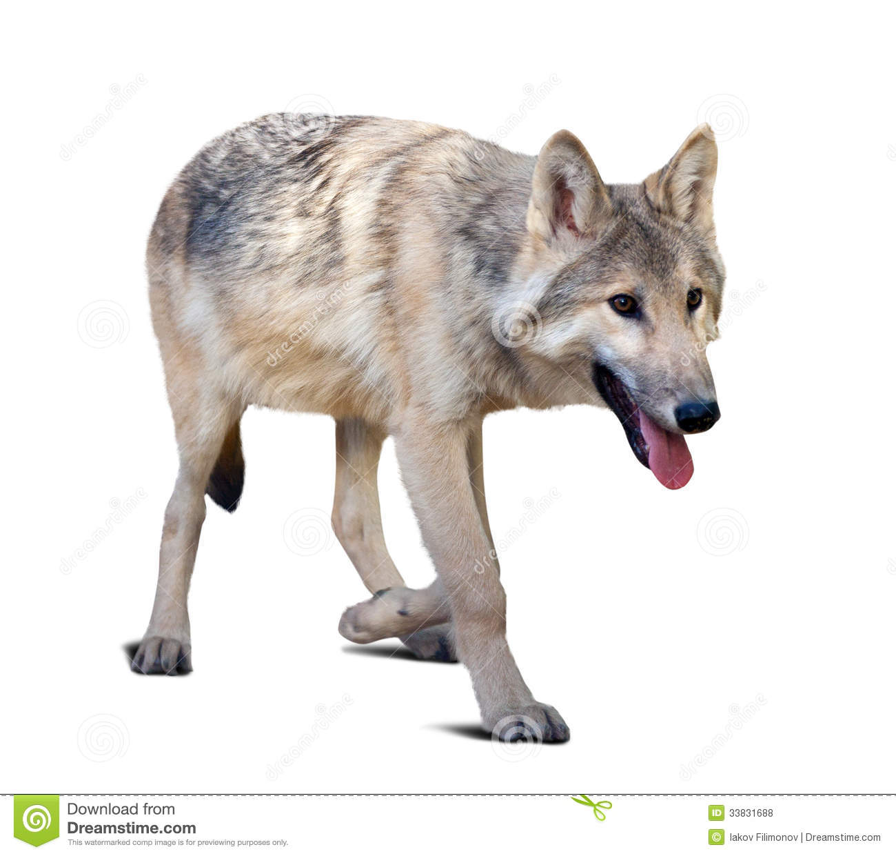 Loup gris de marche photo stock image du fourrure - Photo de loup gris a imprimer ...
