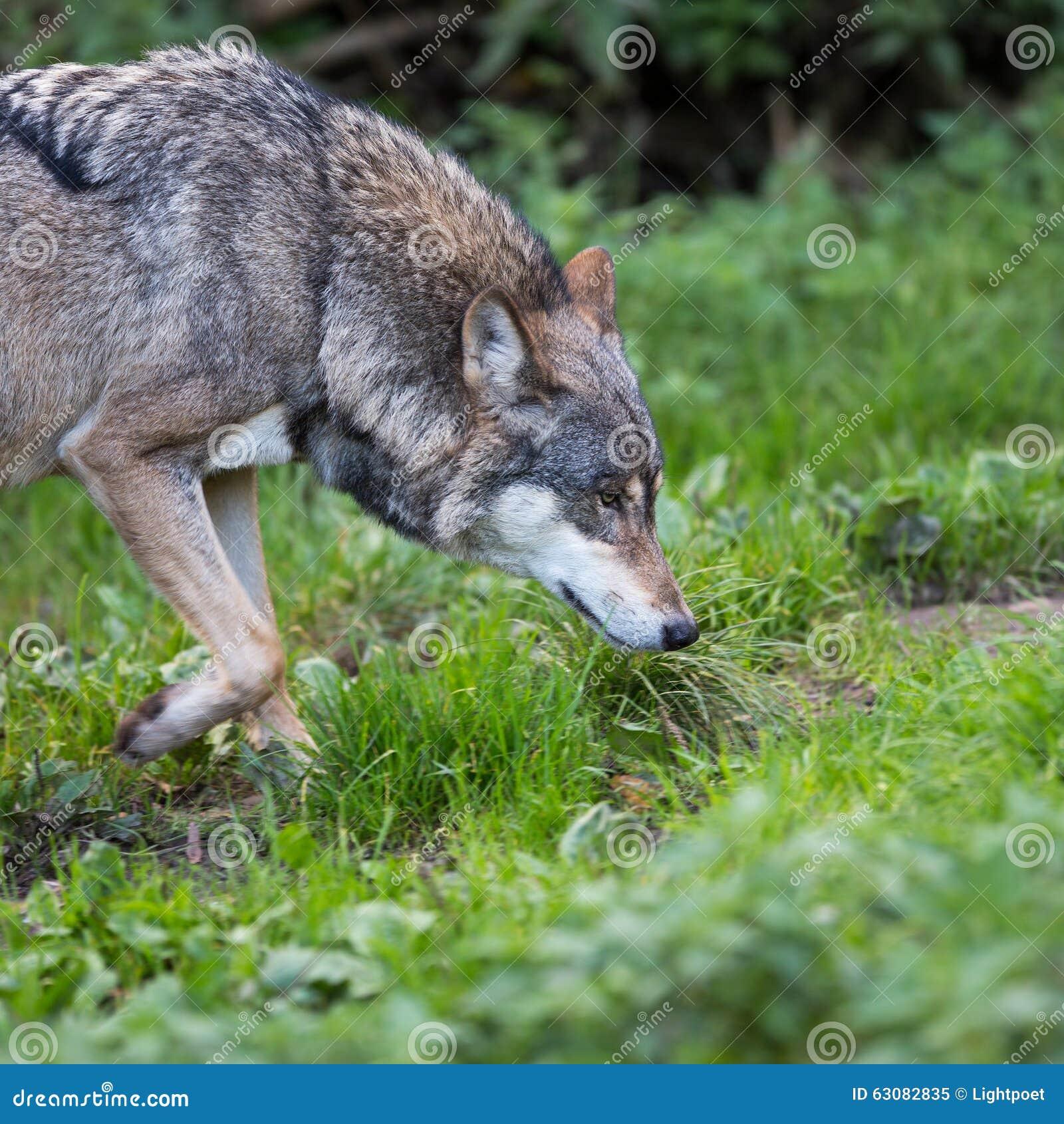 Download Loup gris/eurasien image stock. Image du effrayant, dangereux - 63082835
