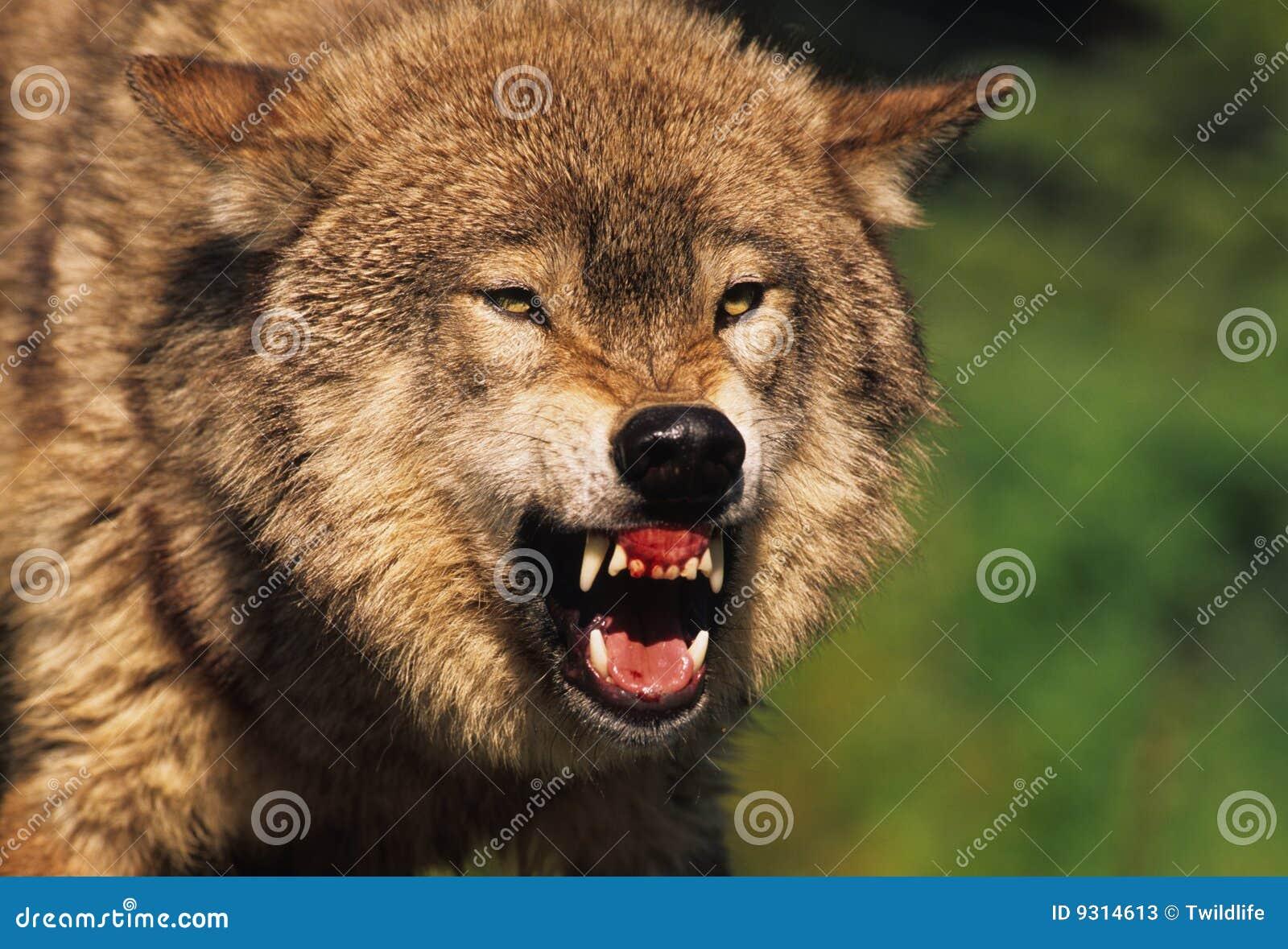 Loup gris féroce