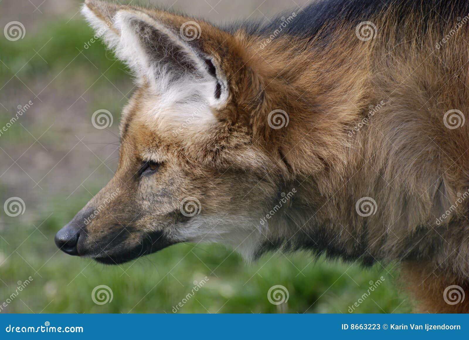 Loup maned