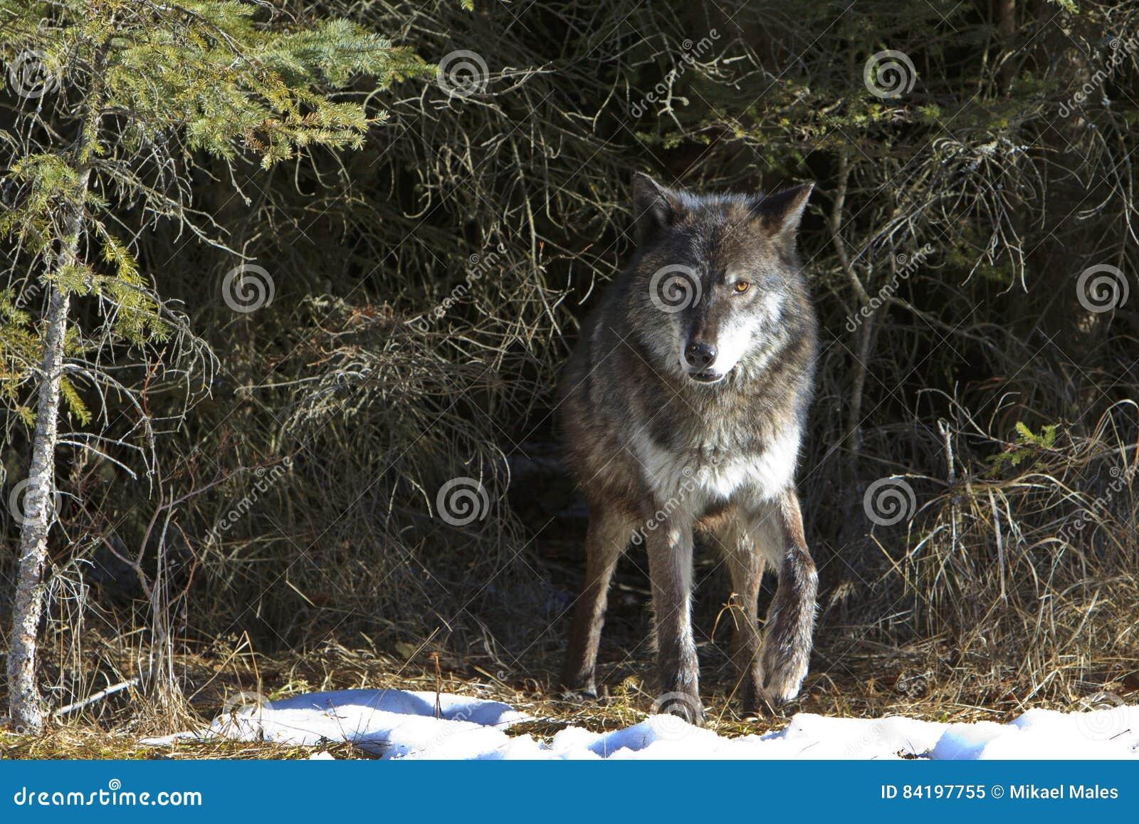 Loup noir sortant le site de repaire