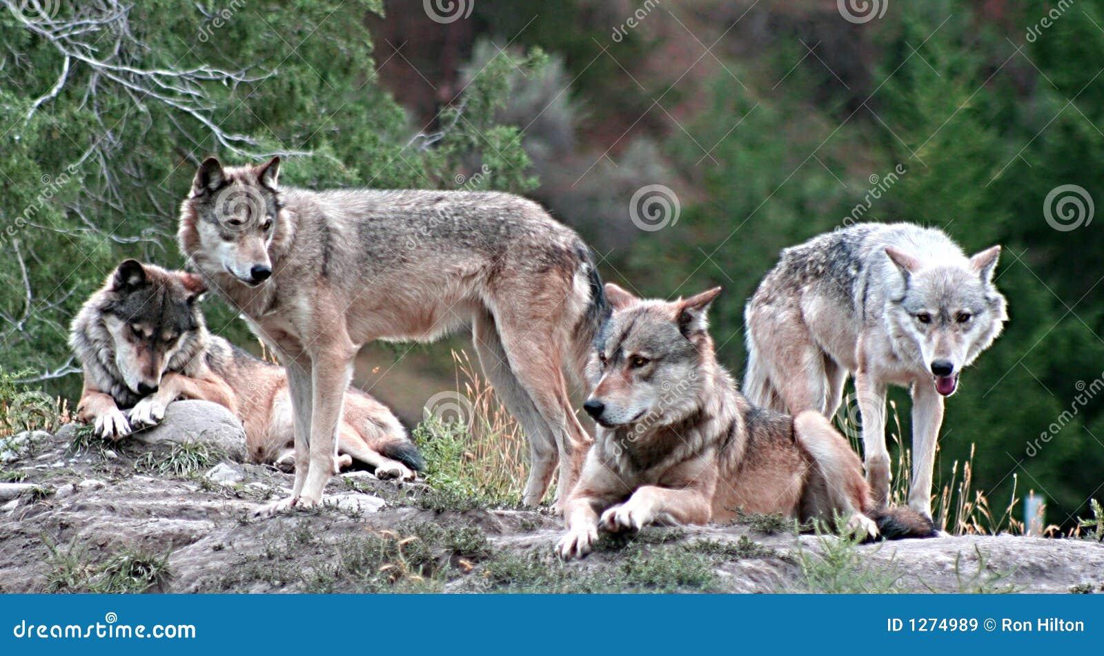 Loups de bois de construction