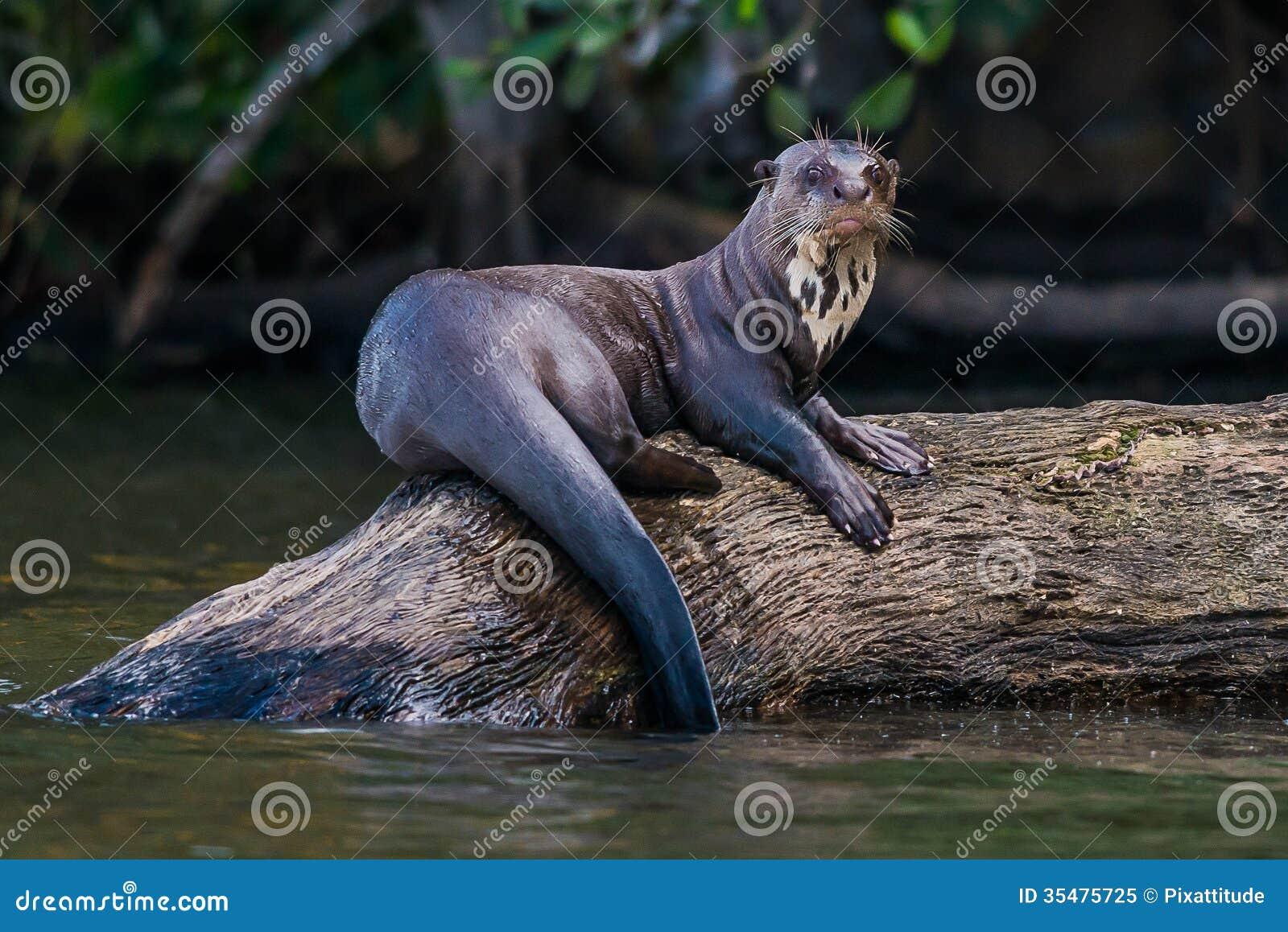 Loutre géante tenant sur l identifiez-vous la jungle péruvienne d Amazone