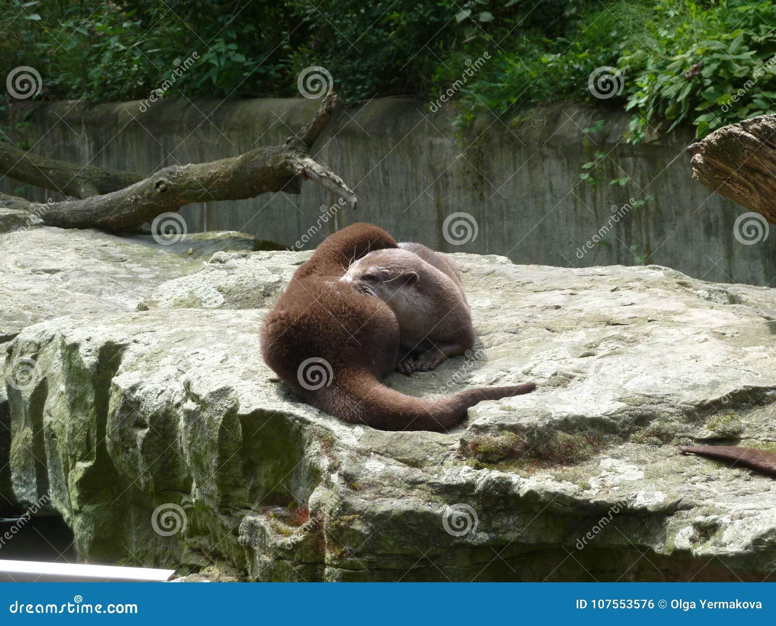 Loutres vivantes dans le zoo
