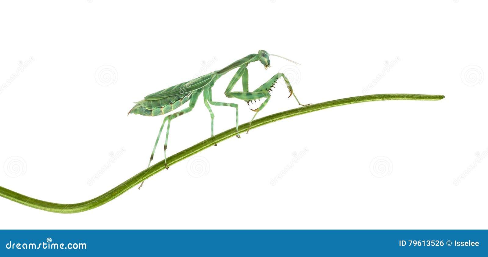 Louva-a-deus - binotata de Miomantis, em uma lâmina de grama