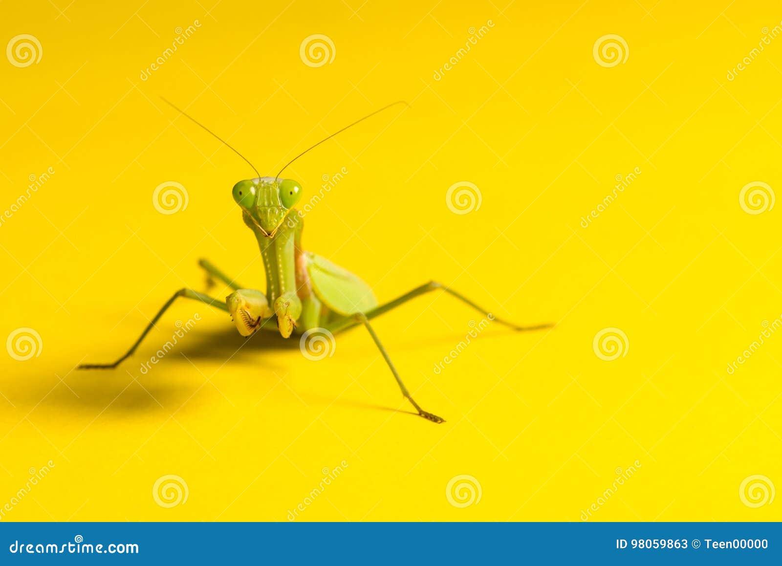 Louva-a-deus no fundo amarelo