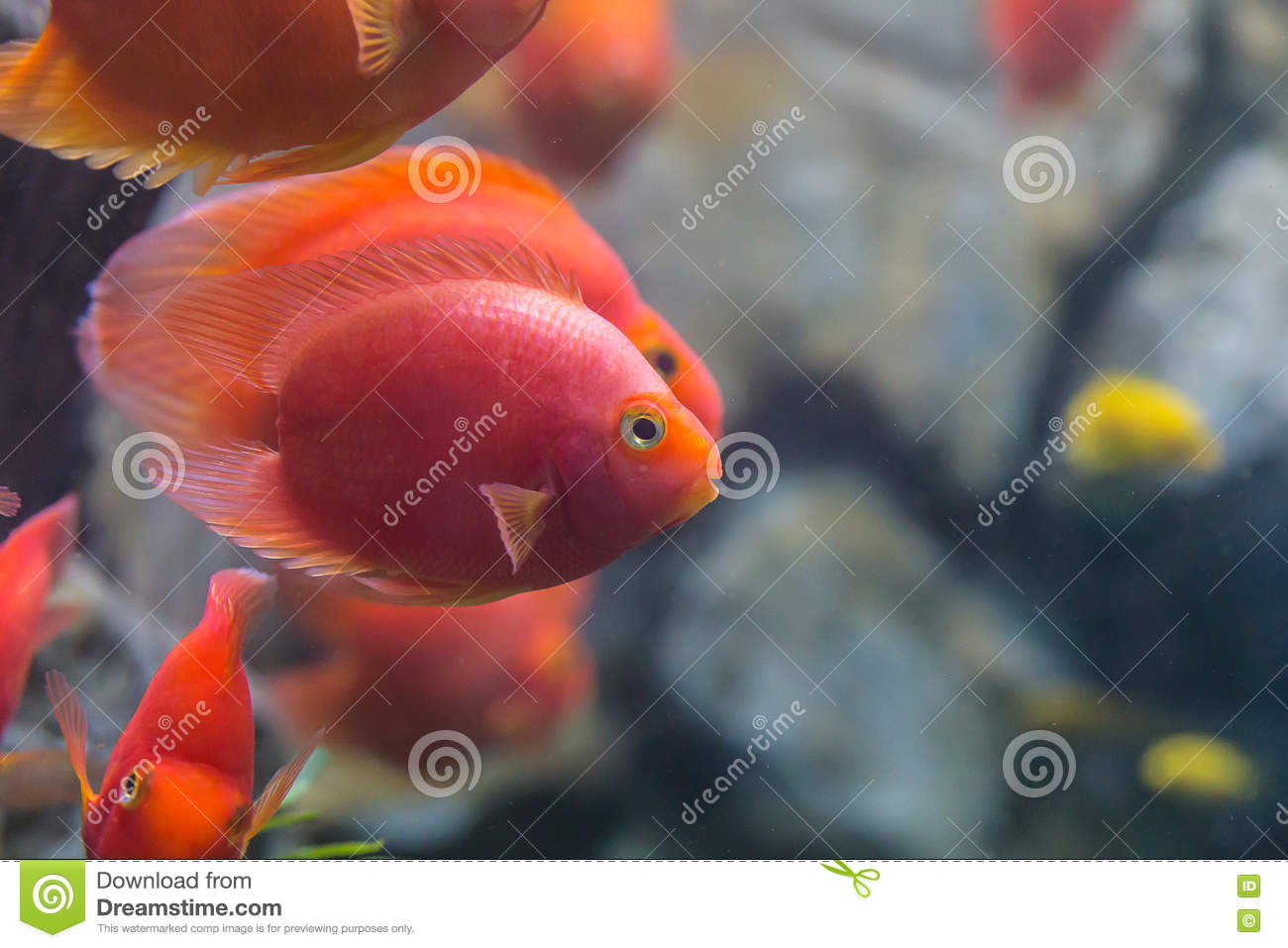 Love Heart Blood Parrot Cichild Fish Stock Image - Image of curious ...
