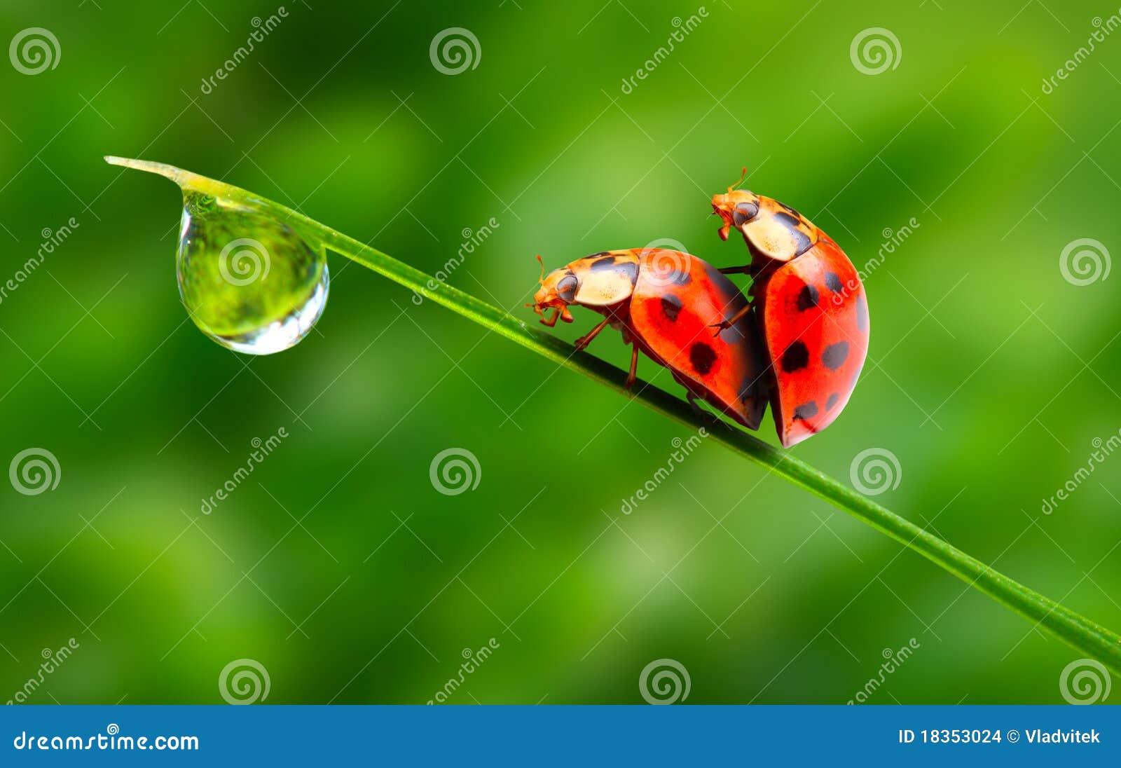 love-making ladybugs couple  stock images
