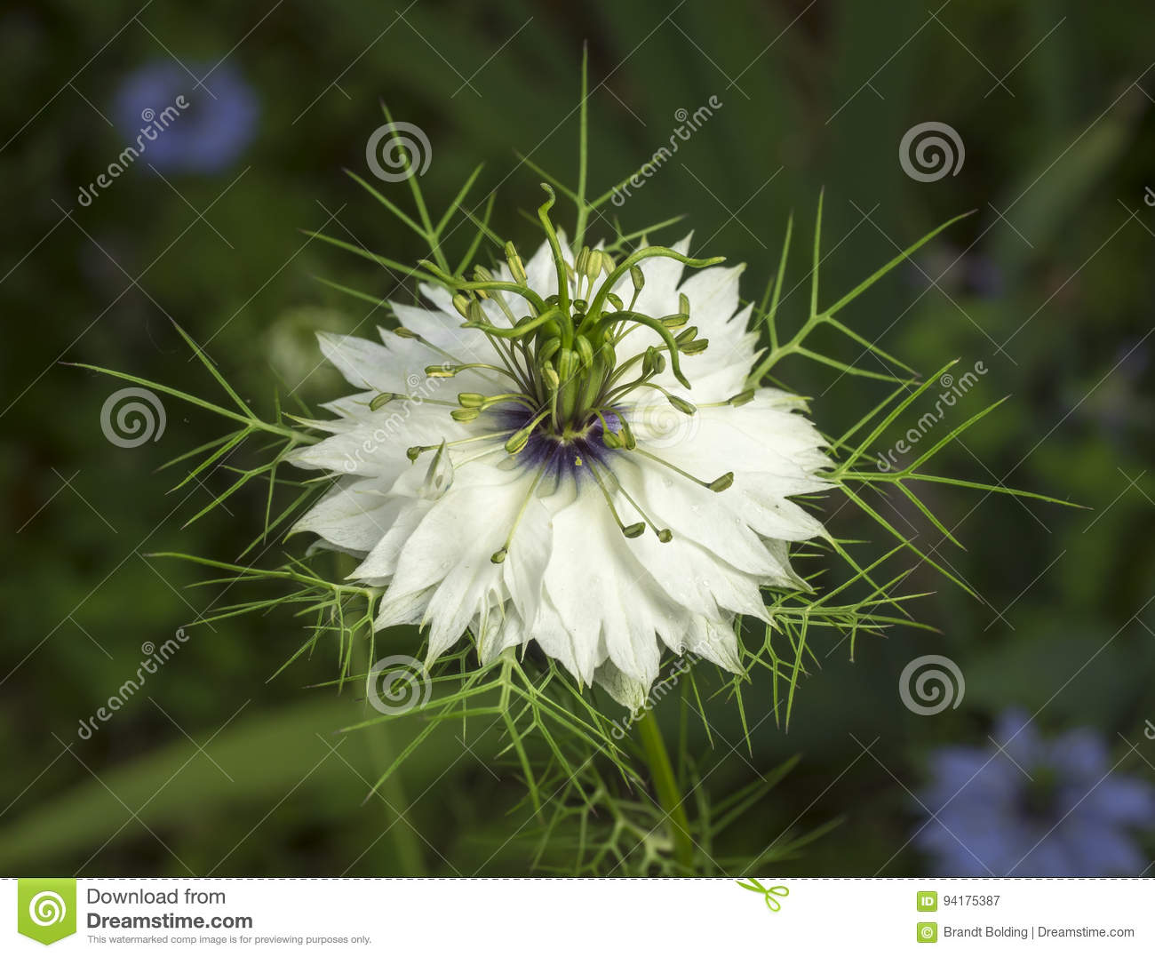 Love in the mist flower stock image image of spikey 94175387 a spiky white blossom of the love in the mist flower mightylinksfo