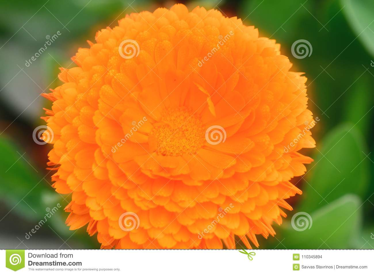 Plants With Daisy Like Flowers In Orange Color Yellow And Other
