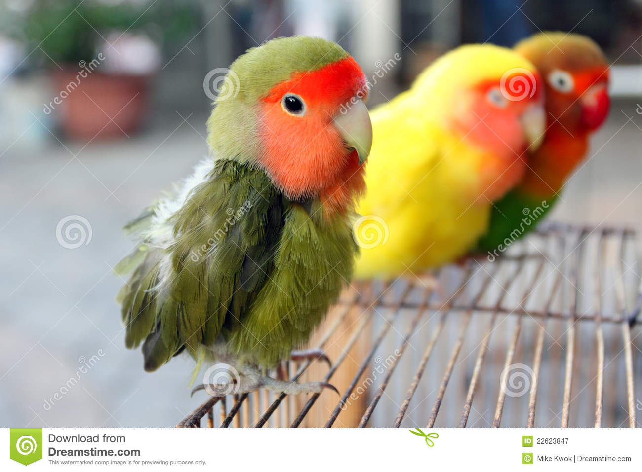 Lovebird Royalty Free Stock Photography - Image: 22623847