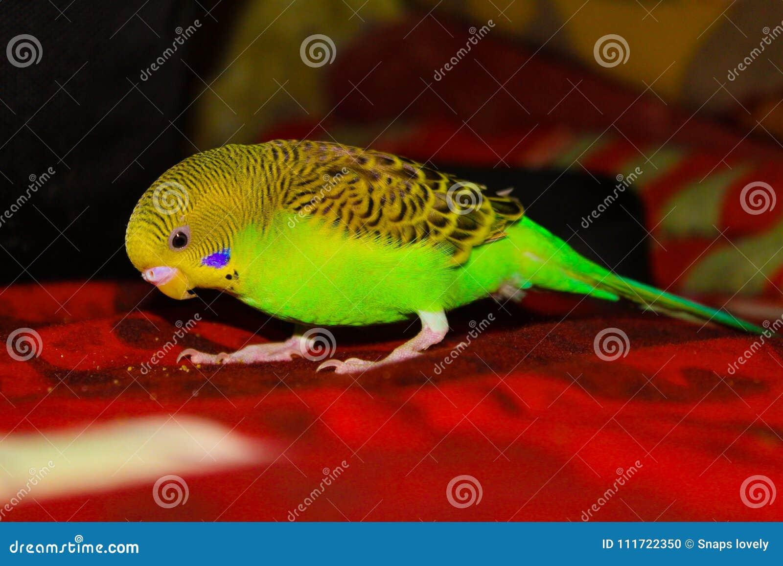 Lovebird Beautiful Green And Yellow Lovebird Stock Photo Image Of Bird Animals 111722350