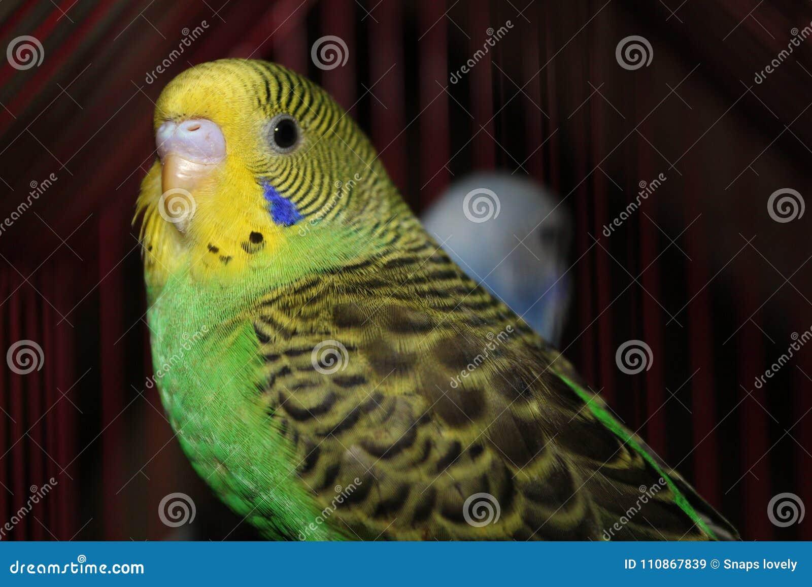 Lovebird Beautiful Yellow And Green Lovebird Posing At Camera Stock Image Image Of Images Lovebird 110867839