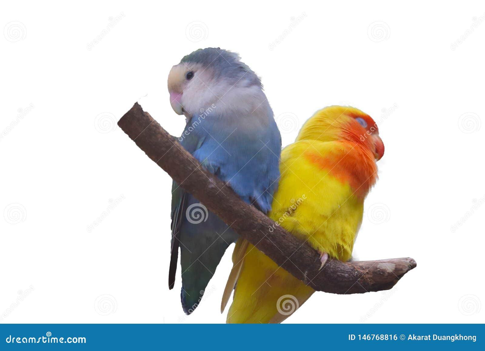 Lovebird getrennt auf wei?em Hintergrund