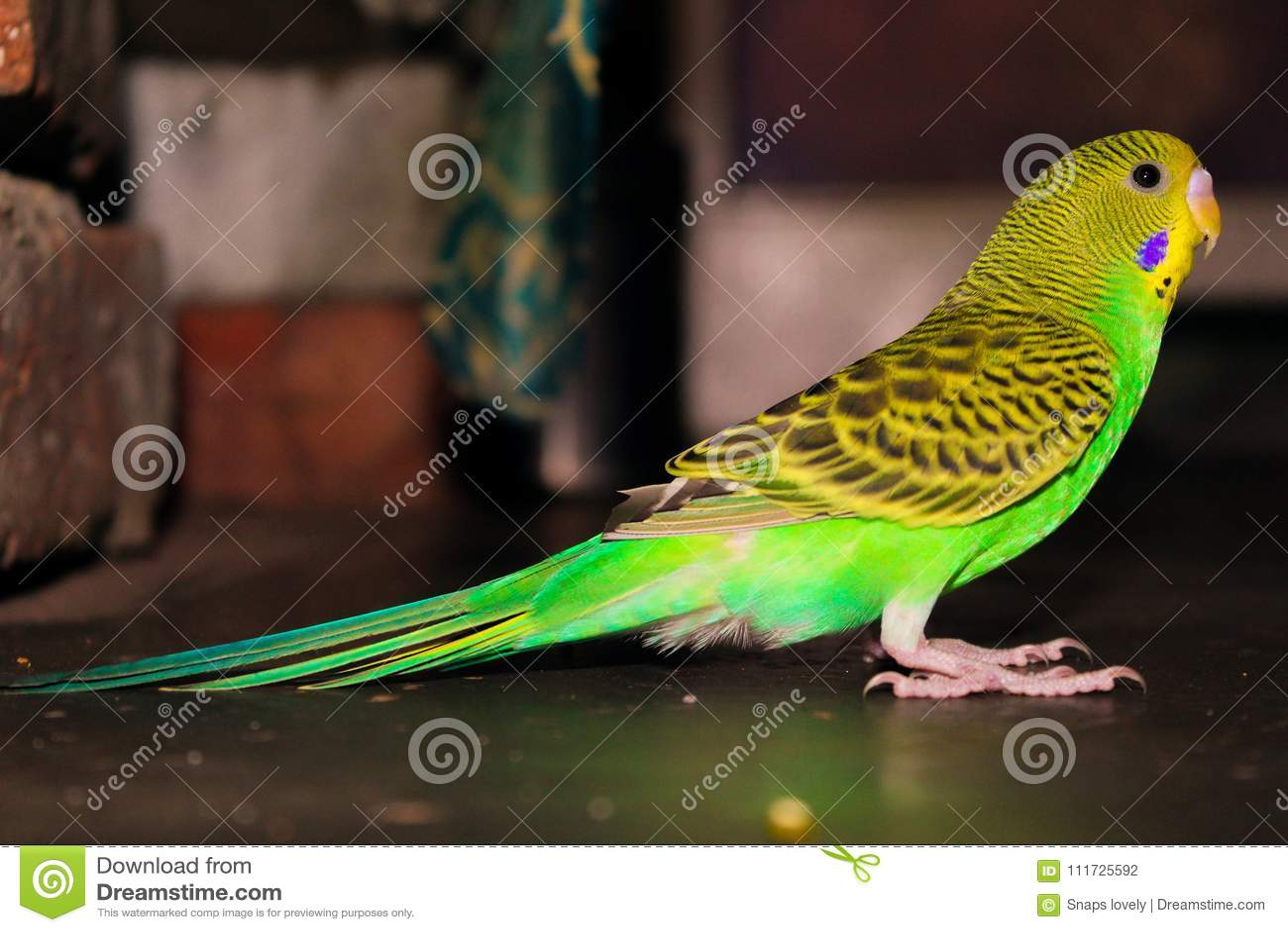 Lovebird koloru żółtego i zieleni piękny lovebird
