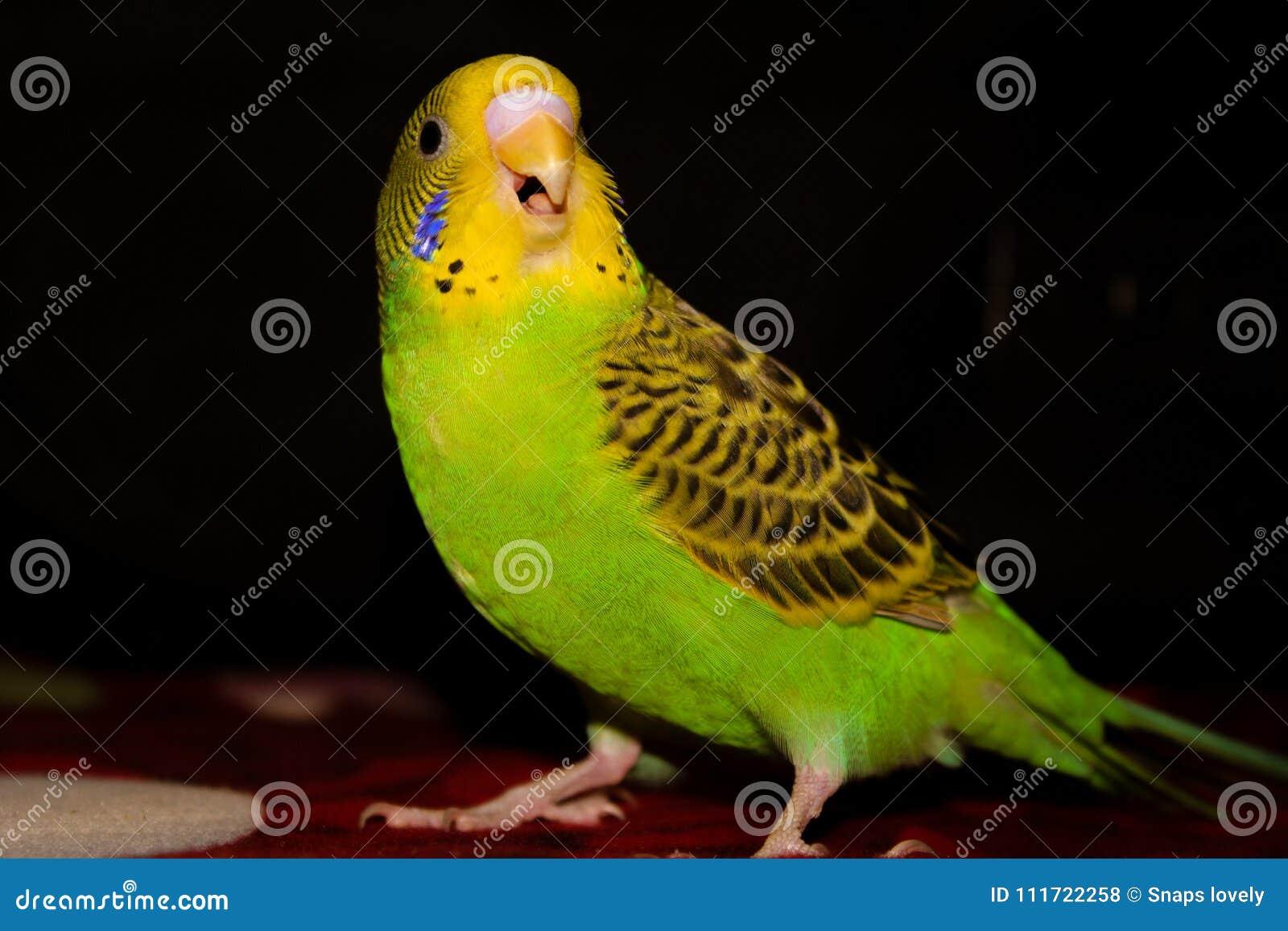 Lovebird koloru żółtego i zieleni lovebird piękny otwarty usta